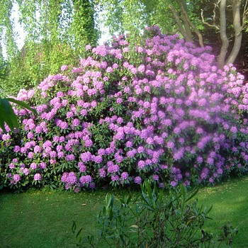 My big Rhodo ... - Photographs