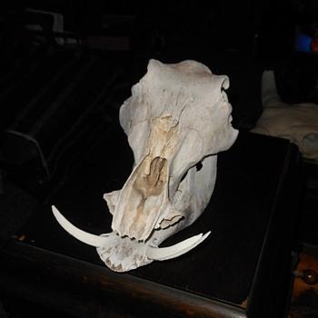Boar Skull With Tucks Field Find - Animals