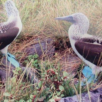 Photograph of Blue Footed Boobys - Photographs