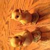 Vintage looking pair of chicks