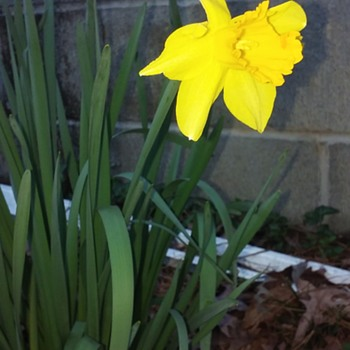 the first daffodil of 2018 - Photographs