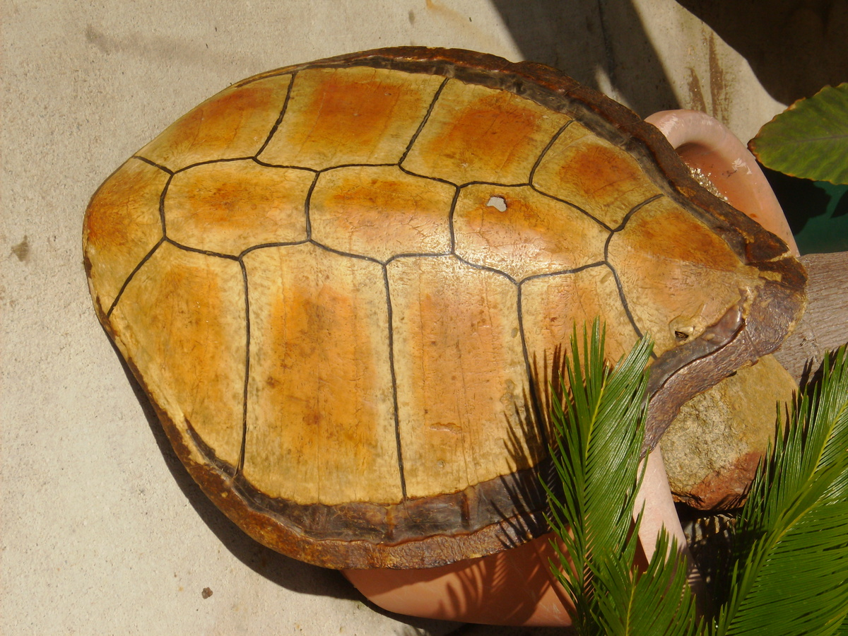 ANTIQUE SEA TURTLE SHELL, HELP IDENTIFY THIS ... Sea Turtle Shell