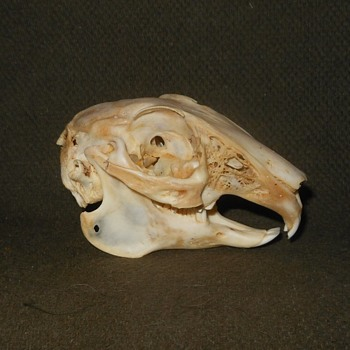 Taxidermy Tuesday A Rabbit Skull - Animals