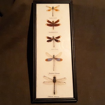 Taxidermy Tuesday Dragonfly Collection From Southeast Asia - Animals