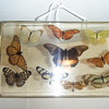 Vintage Stuffed Real Butterfly + Large acrilic display hanger