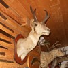 And it is a Pronghorn Re the Mystery Skull