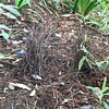 Local scenery - a bower bird's nest & bushland recovery after the fires