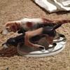 Hunting Dogs figurine
