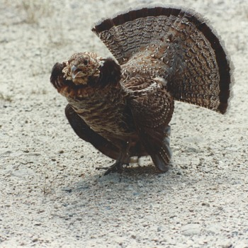 "My Encounter with ""The Ruffed Grouse""Circa 1989 - Photographs"