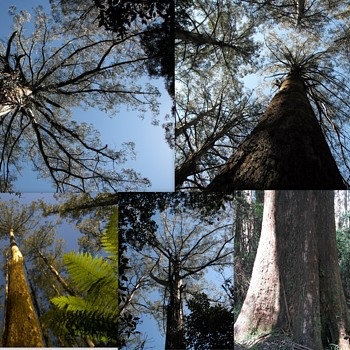 In Awe of the Australian Mountain Ash. - Photographs
