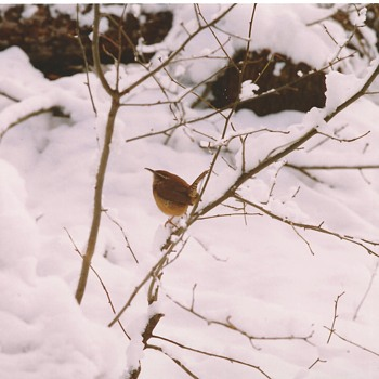 Bird post #2----Carolina Wren(Thryothorus ludovicianus),Winter Visitor in 1991 - Photographs