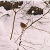Bird post #2----Carolina Wren(Thryothorus ludovicianus),Winter Visitor in 1991