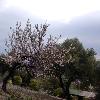 The Almond trees in blossom.