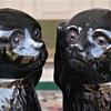 Victorian Staffordshire Spaniels, Circa 1890 Jackfield Glaze Glass Eyes