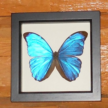 Blue Morpho Butterflies - Animals