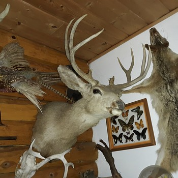 Taxidermy Tuesday A Mule Deer Shoulder Mount - Animals