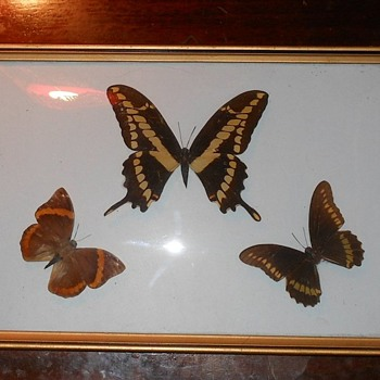 Framed Butterflies with Curved Glass Case - Animals