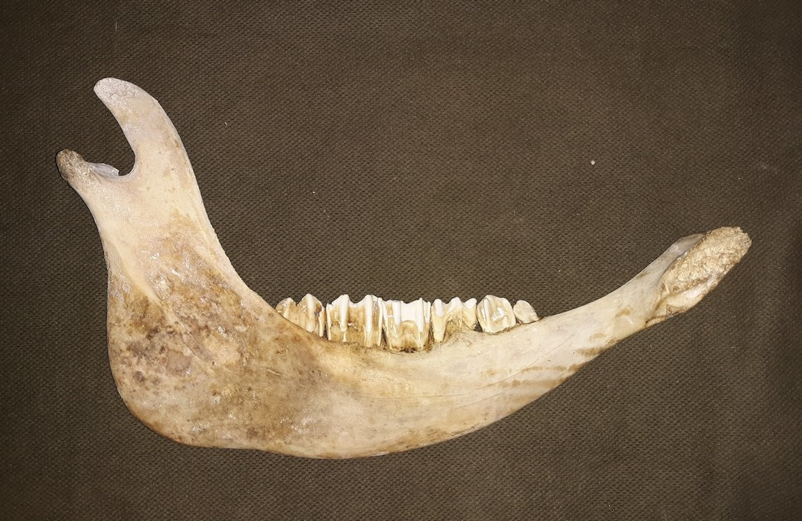Taxidermy Curiosities On The Move A Bison Jaw Bone Carving Home Living Home Decor