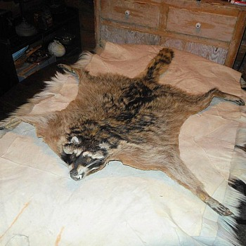 Rocky the Roadkill Racoon - Animals