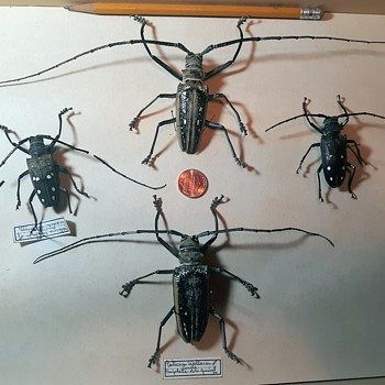 Taxidermy Tuesday Beetles With Very Large Antennae Batocera wallacei 1970 - Animals