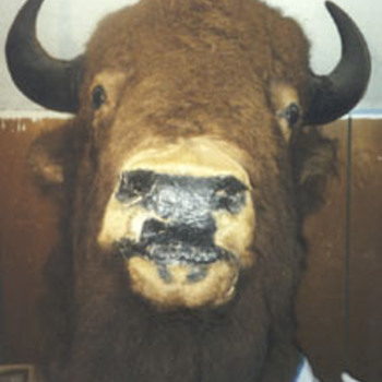 bill cody's buffalo? - Native American