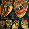 Heart Anatomy - 1890s