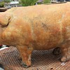 Very large pottery pig planter