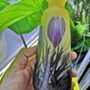 Gallé Crocus vase