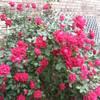 rose bushes mostly... ;-)