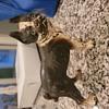 Boston Terrier Paperweight
