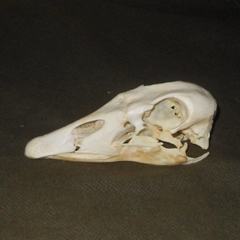 Large Goose Skull With Teeth