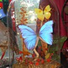 Blue Morpho Butterfly in Glass Dome Display