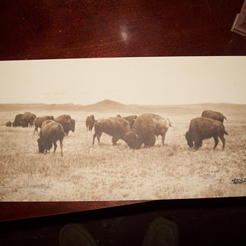 old photo -  Bison  - Photographs