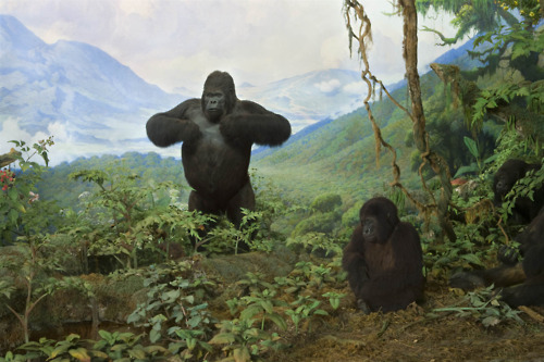 Mountain gorillas, seen in a diorama created by Akeley in the Hall of African Mammals at the American Museum of Natural History. Instead of stuffing the skins with straw, Akeley carved forms that imitated the musculature of the mighty creatures. Image via the museum's Tumblr blog.