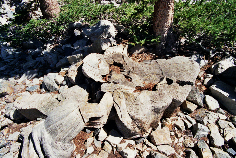 This unassuming stump is all that remains of the Prometheus tree , the world's oldest non-clonal organism.