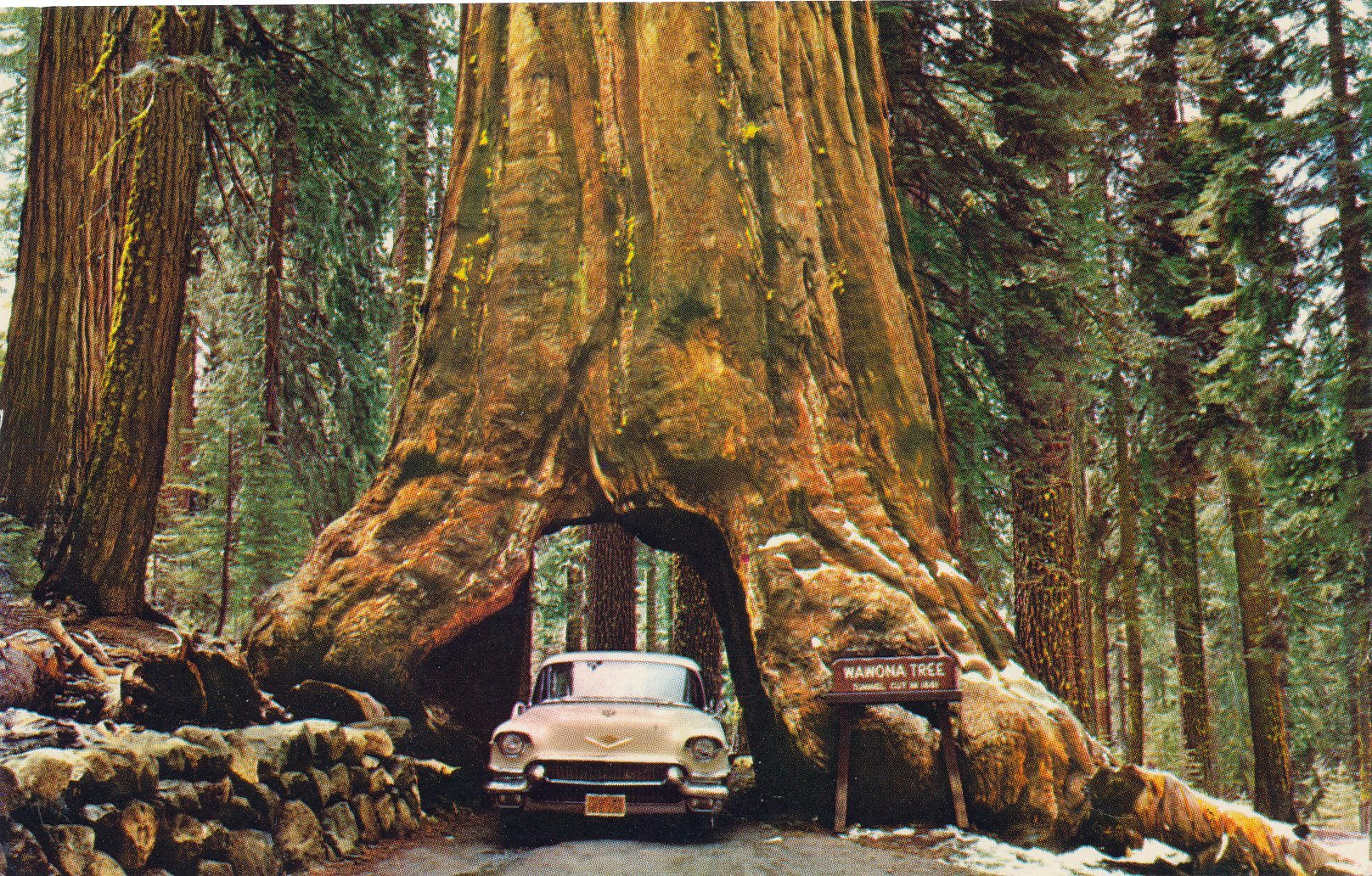 A 1950s postcard image of the now-fallen Wawona tree in Yosemite National Park.