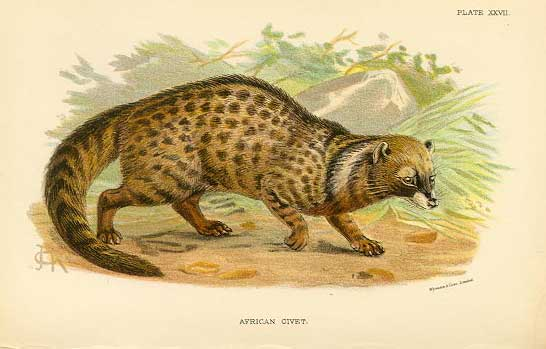 An illustration of an African civet—valued for both its fur and its musk—created by English naturalist Richard Lydekker in 1894.