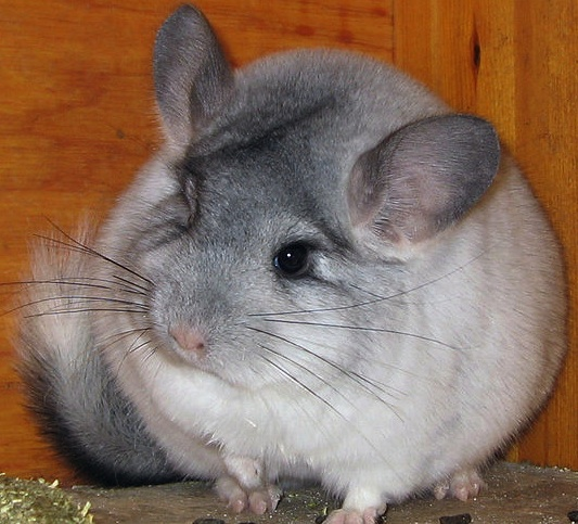 A silver mosaic chinchilla, a rodent native to the Andes Mountains is becoming rare, because of the popularity of its thick, velvety fur. (Photo by Kjersti Holmang)