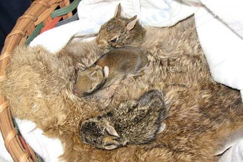 Orphaned baby rabbits get cozy on a recycled rabbit fur, thanks to Coats for Cubs. (Via SammyDVintage.com)