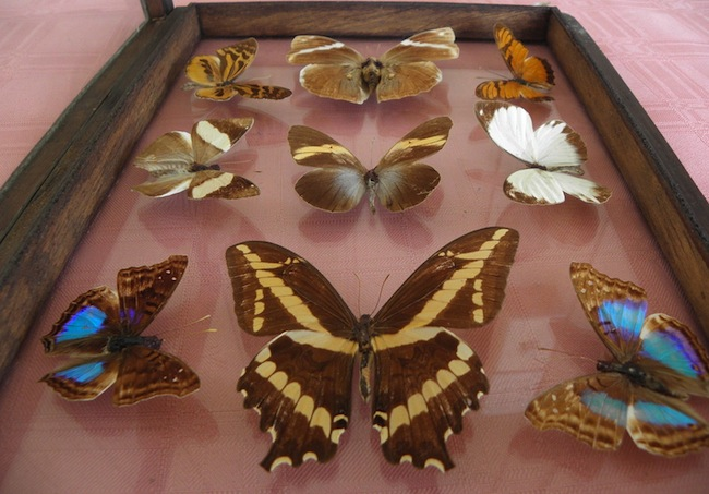 The hobby of pinning dead butterflies in display boxes grew popular during the Industrial Revolution.