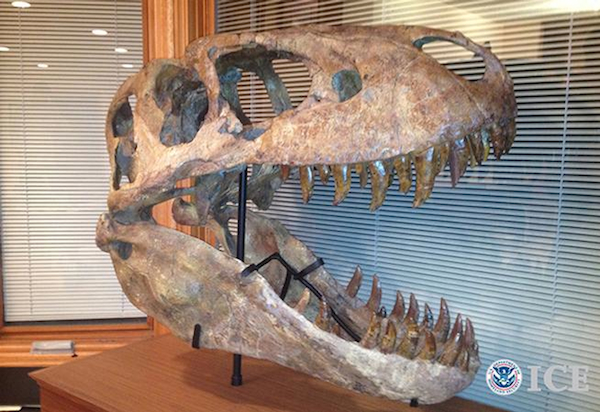 In 2012, Homeland Security Investigations agents working with Immigration and Customs Enforcement (ICE) seized this rare Tarbosaurus bataar skull from the owner of By Nature Gallery, who subsequently pleaded guilty to smuggling. Photo courtesy of ICE.