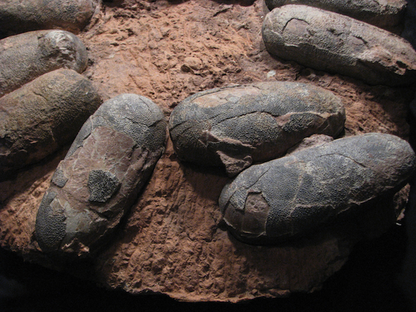 Detail of a nest of unhatched oviraptor eggs, approximately 70 million years old. Offered on eBay by Fairfield Fossil Exchange.