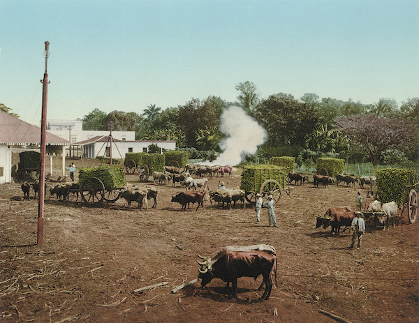 While working for DPC, William Henry Jackson traveled to Cuba after the Spanish-American War of 1898 to take photographs, including this one, for the company. This Photochrom shows the sugar-cane harvest being weighed.