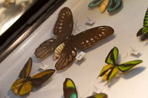 The brown butterfly above, known as Queen Alexandra's Birdwing, is a member of the largest butterfly species on earth.