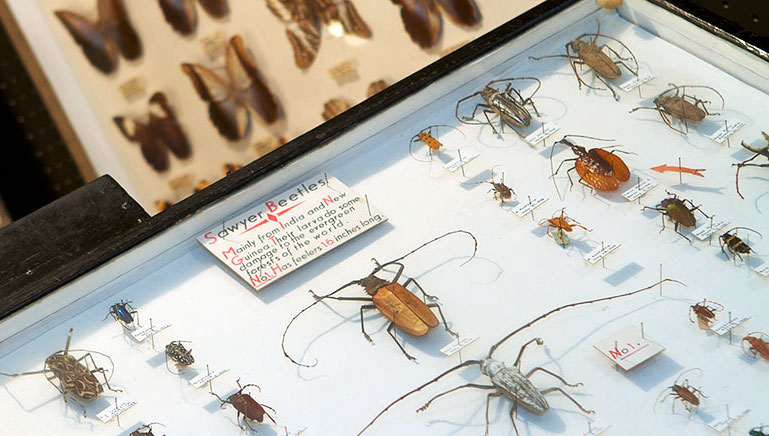A case full of Monochamus, or sawyer beetles, at the May Museum.