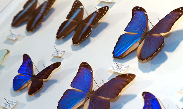 blue-morphos-lead