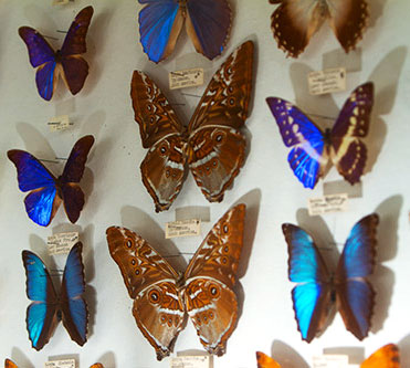 More dazzling butterfly specimens at the May Museum, including several blue Morphos.