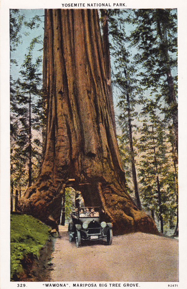 A postcard view of the famous Wawona Tunnel Tree in Yosemite's Mariposa Grove. Cut as a tourist attraction in 1881, the tree collapsed in 1969, and is emblematic of Yosemite's destructive development. Via Postcard Roundup.