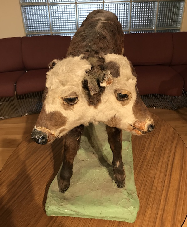 "Cerny found this taxidermy of a two-headed calf on an outing with one of his favorite picking partners, Hy Roth. The story is described in ""Selling Dead People's Things."""