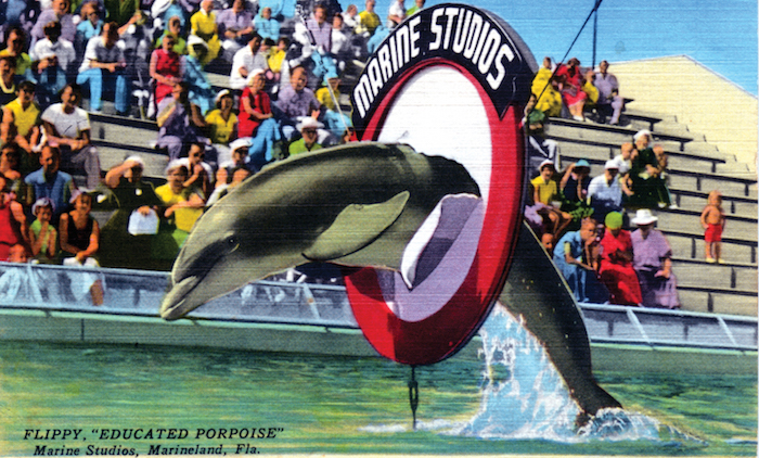 "A 1950s Marine Studios' Marineland postcard shows Flippy, the ""educated porpoise,"" doing a trick. (Courtesy of Tim Hollis)"